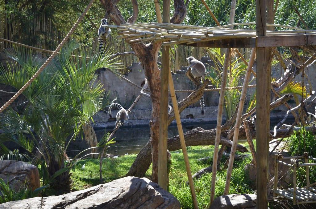 Lemurs in Oudtshoorn