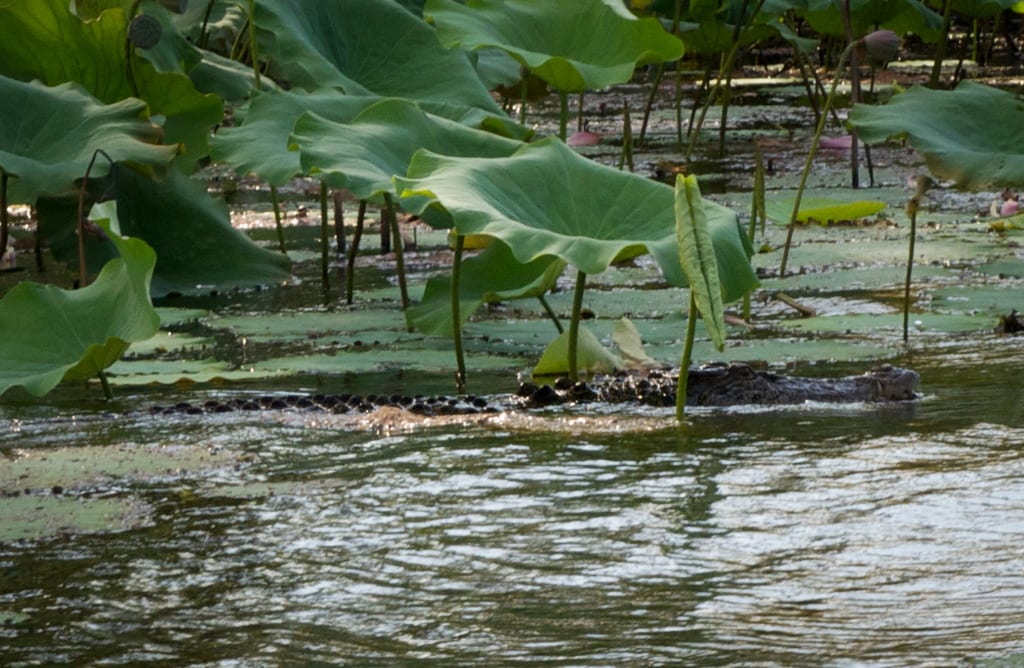 Croc in Mary River Wetlands