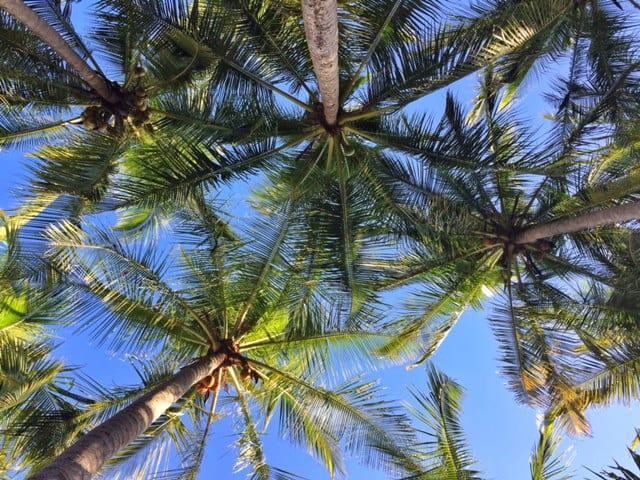 Palm Trees Samara