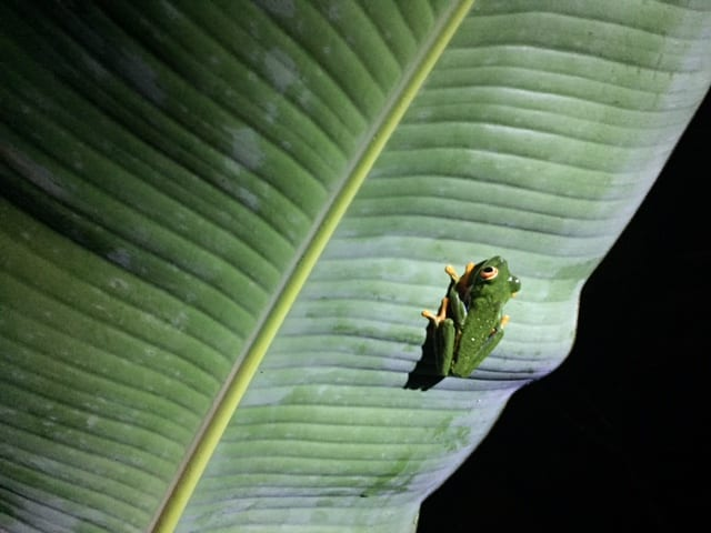 Frog in Arenal