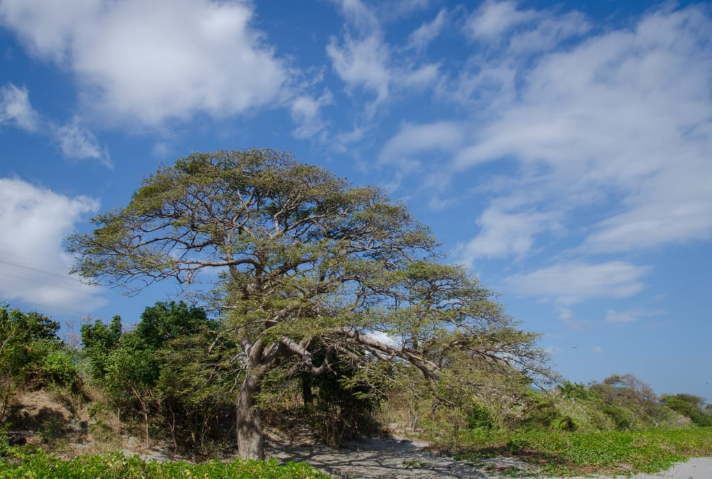 Tree in Ometepe