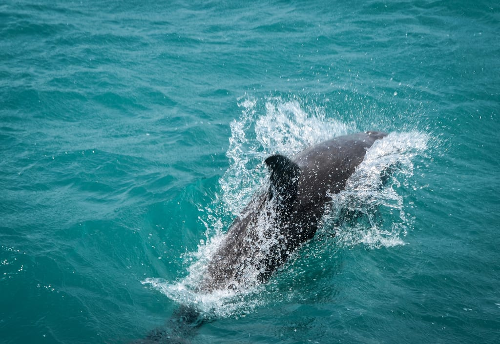 Dolphin in Belize