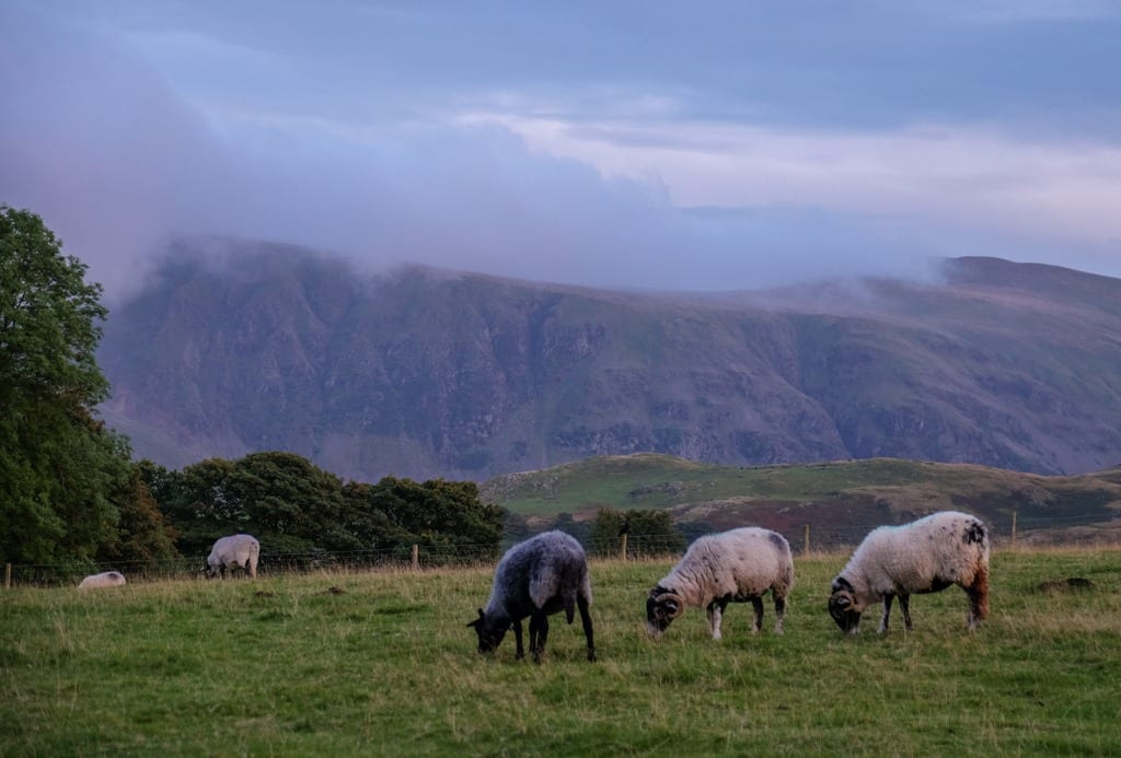 Sheep at Castlerigg Lake District