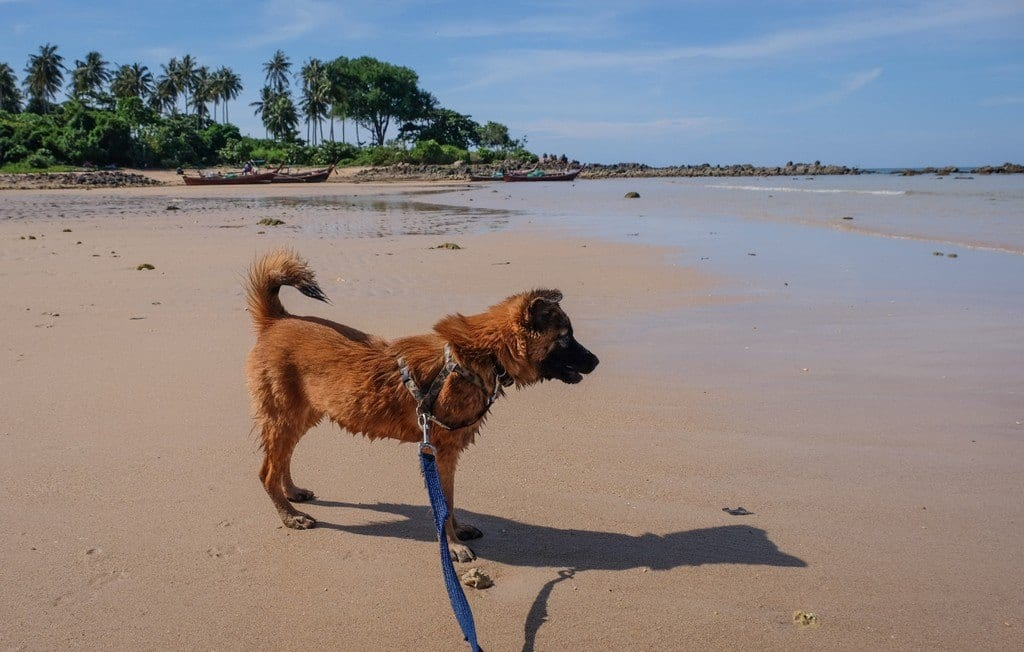 A small brown dog on a leash on the beach in Koh Lanta, Thailand.