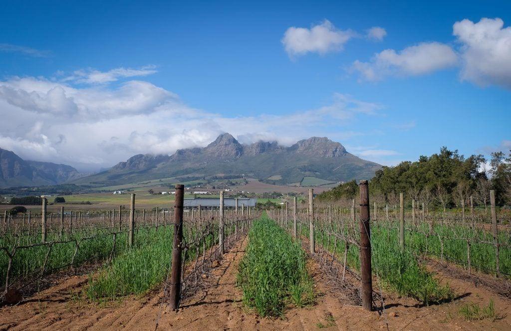 Rangées de vignes dans un vignoble à Stellenbosch, Afrique du Sud, montagnes en arrière-plan.