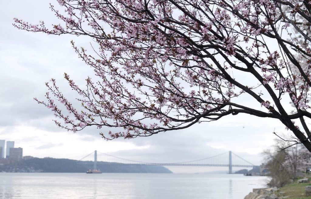 A tree with white blossoms overlooking the George Washington Bridge, between New Jersey and New York.