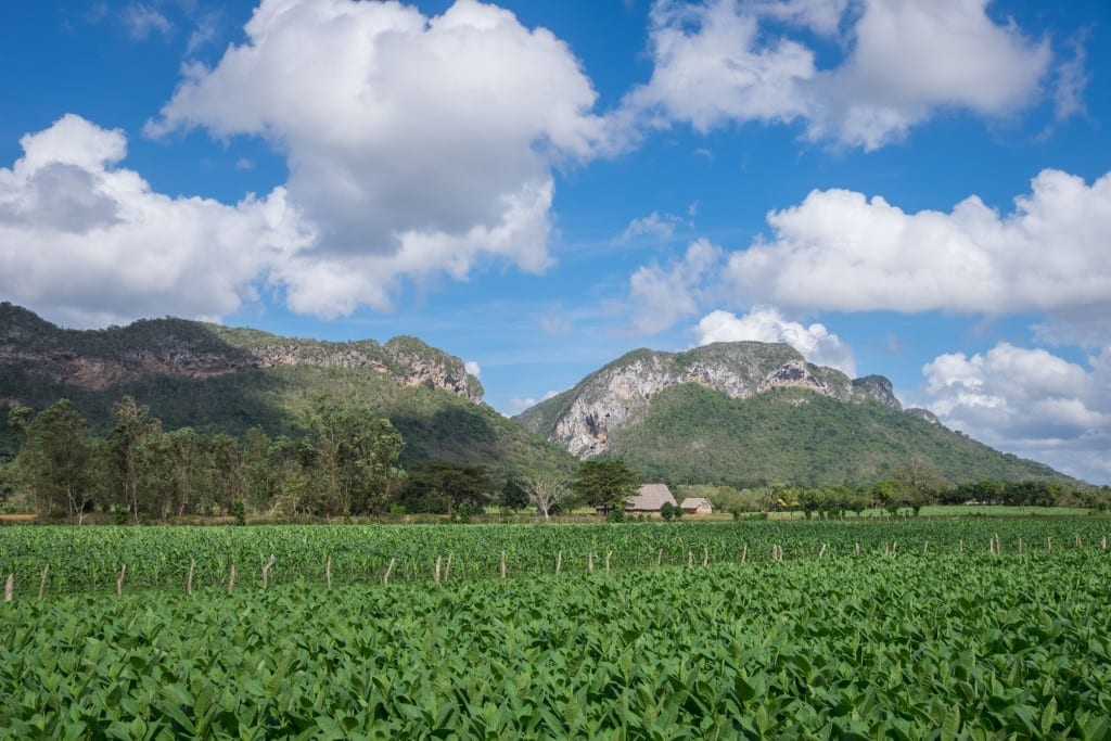 Tobacco fields and mountains underneath a blue sky with puffy clouds.