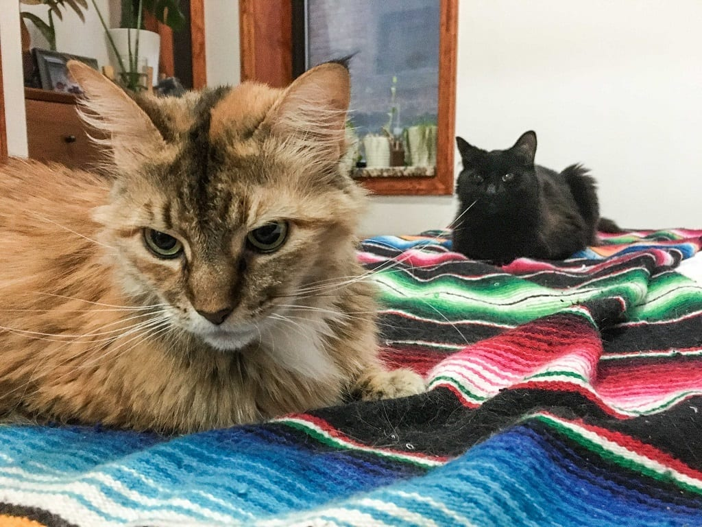 Two long-haired cats, a gray one in front and a black one in black, sitting on a striped blanket.