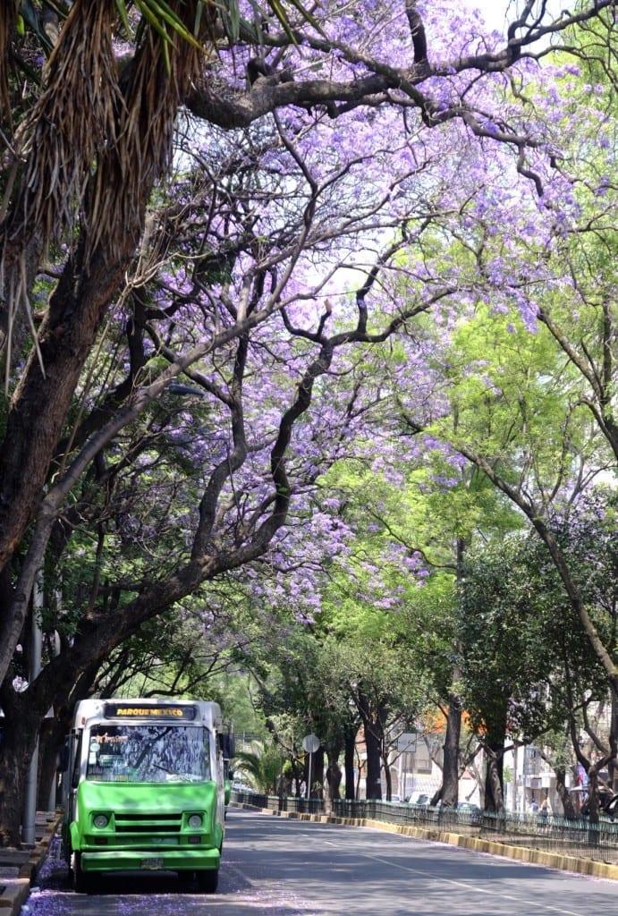 Jacarandas violets au-dessus d'une rue avec un bus vert garé sur le côté.