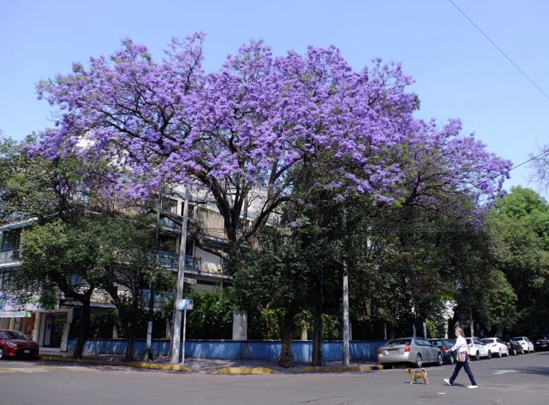 A bright purple jacaranda tree; in the foreground, a woman walks her dog.