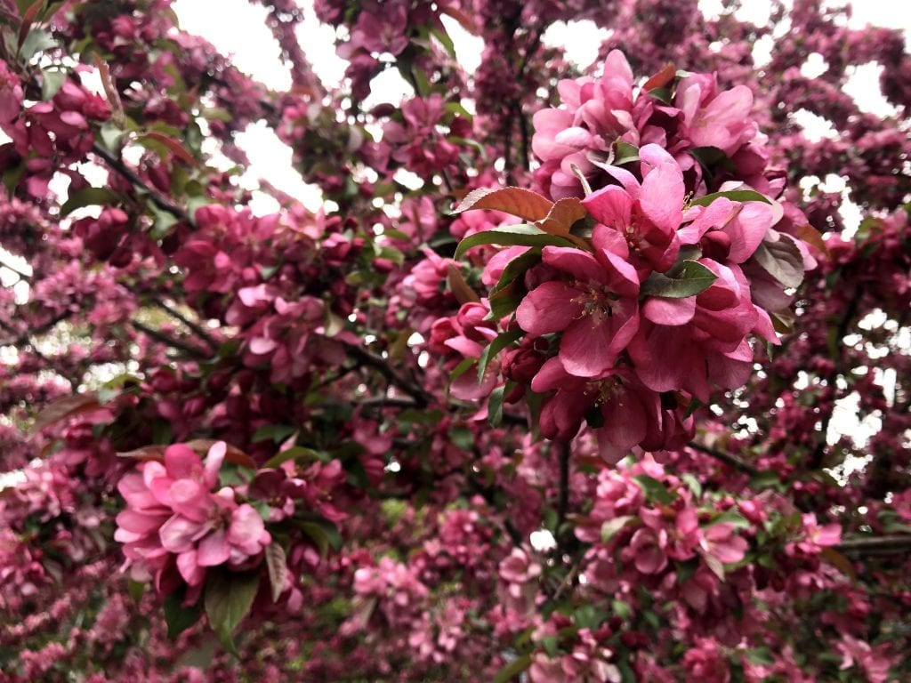 Bring pink azalea flowers clustered together in a tree