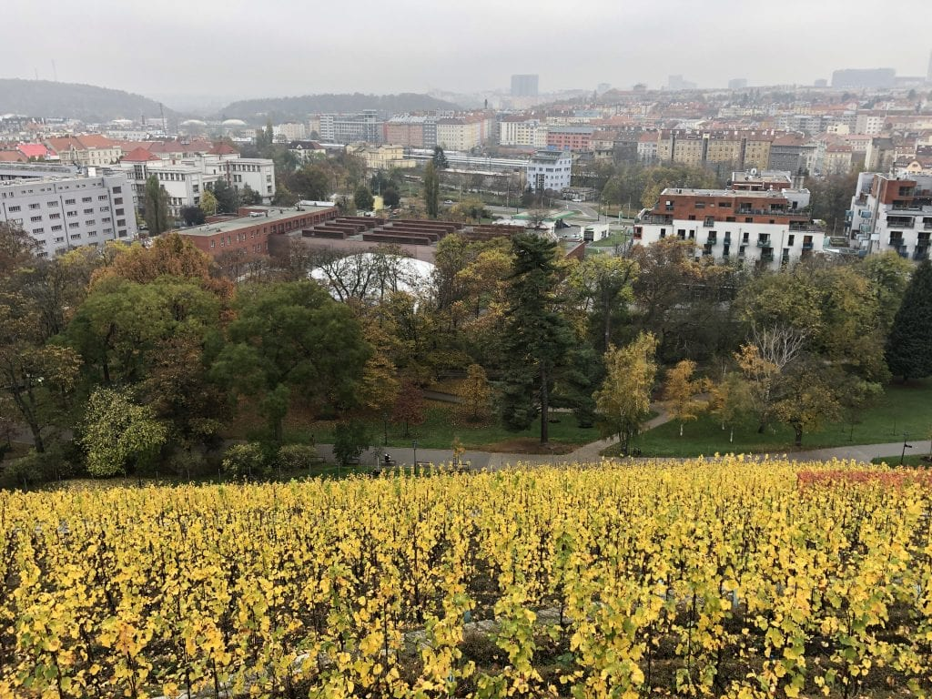 A vineyard on a steep hill in Prague looking downward. The vines are yellow at this time of year, and it's a gray cloudy day. Lots of urban sprawl in the distance.