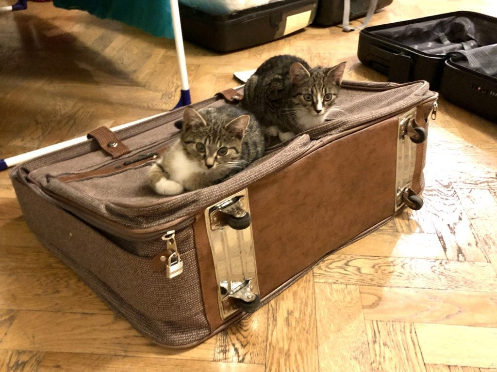 Murray and Lewis as young kittens, both fluffy gray tabbies, sitting on an old-fashioned brown tweed suitcase and looking at the camera.