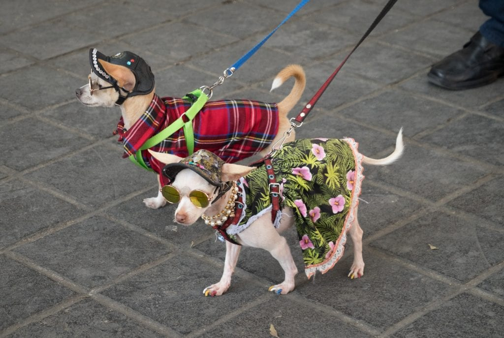 Two chihuahuas wearing funny bedazzled leather hats, round sunglasses and dresses (one red plaid, one with green palms and pink tropical flowers). OMG I just realized the one in the flower dress has multicolored painted nails and is wearing pearls.