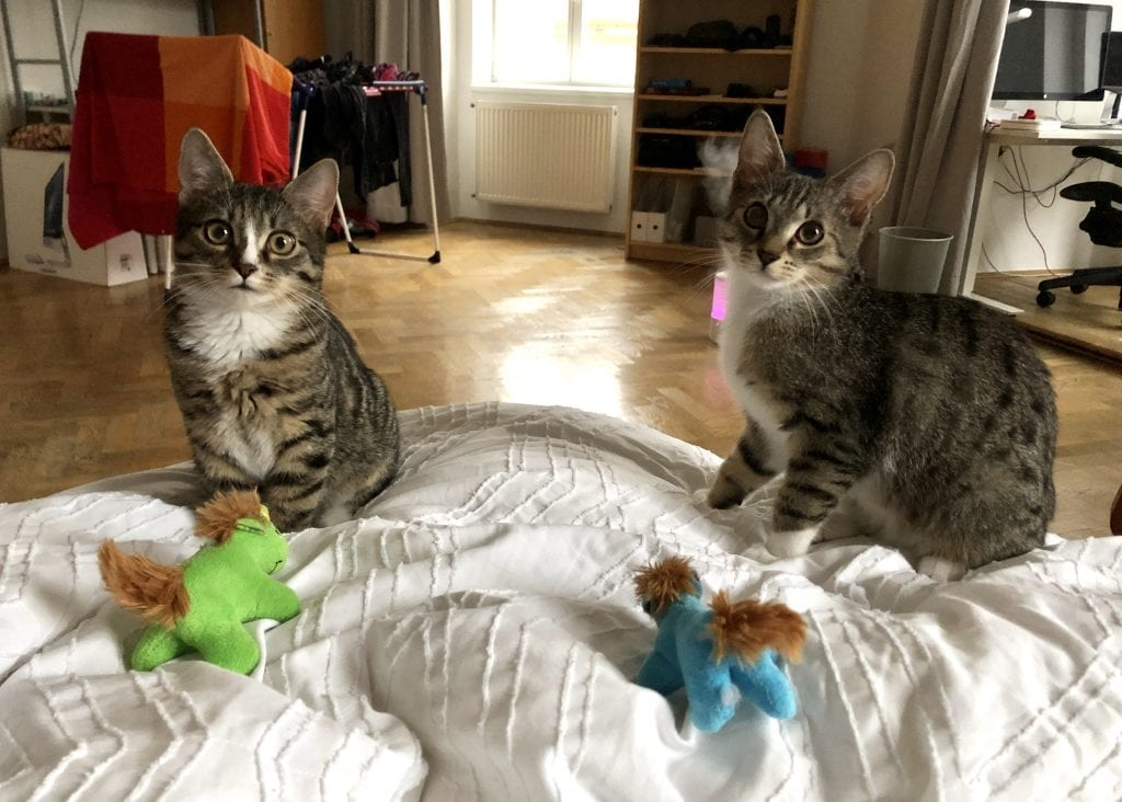 Lewis and Murray, gray tabby kittens sitting on the edge of a bed covered with a white textured bedspread. They sit side by side with wide eyes and each have a little stuffed unicorn in front of them -- one lime green, one bright blue.