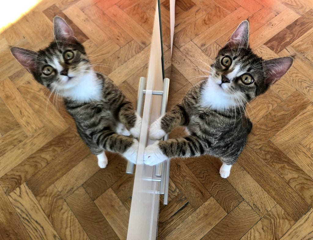 Lewis the kitten stands on his hind legs and leans against a mirror, looking like two cats have their pays pressed together. He has a wide-eyed face and looks extremely cute!